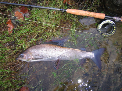 Large grayling from River Dee